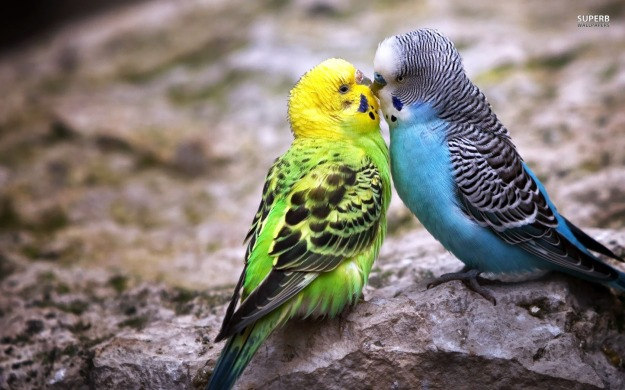 parakeet-love-wallpapers-1