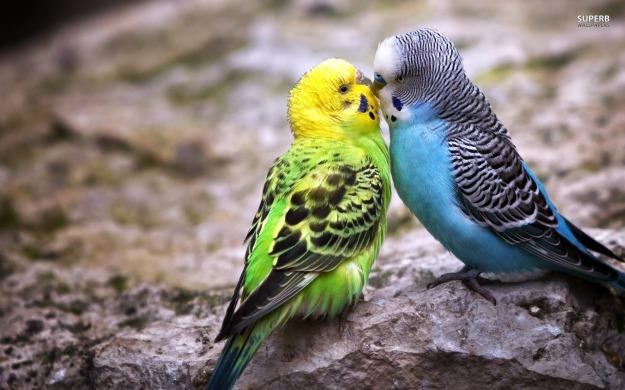 parakeet-love-wallpapers-1