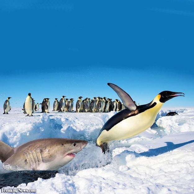 shark-stalking-a-penguin-114942
